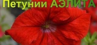 Красота, рожденная в Семидачье. Выпускной бал петуний Аэлиты